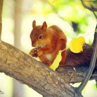 Белка песенки поет, да орешки все грызет... :: Рустам Ромуальдо