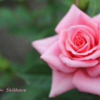 Нежность :: Любовь Шихова