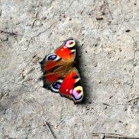 бабочка :: Ася Гупало