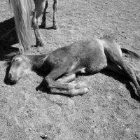 Уставший от жары :: Екатерина Балдуева