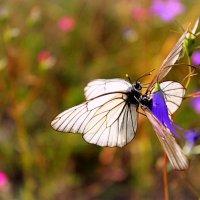 butterflies :: Arina Kekshoeva