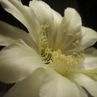 Цветок кактуса. :: Дмитрий Петров