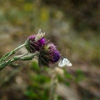 Бабочки на цветке :: Роман Яшкин