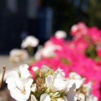 цветы цвета :: Эни Цветкова