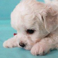 Большая грусть маленького щенка :: Дарья Малышева