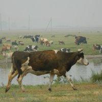 Убегающая корова :: Виктория Минаева