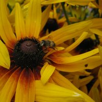 Пчела :: Виктория Минаева