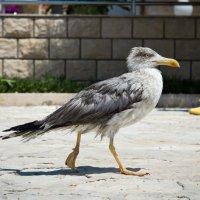 Чайка на прогулке :: Евгения Бутырина