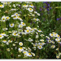 Альпийские цветы :: Александр Гапоненко