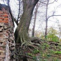 Старое дерево :: Игорь Мукалов