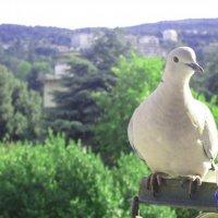 голубь... :: Алина Бондар