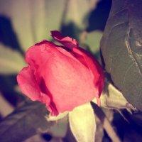 Роза :: Натали V