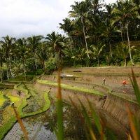 Рисовые терассы на земле богов :: Eva Langue