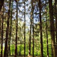 В сосновом лесу. :: Николай Сидаш