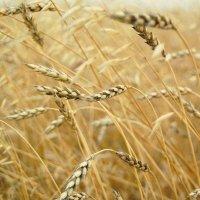 Золотой урожай :: Анастасия Ткаченко
