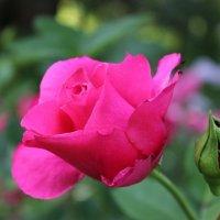 Rose :: Мария Полосина