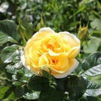 yellow rose :: Мария Полосина