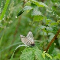 Бабочка на листочке :: Роман Яшкин
