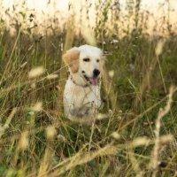 Голден ретривер (щенок 4 месяца) :: Екатерина Тележенко