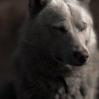 Wolf :: Евгений Шишкин