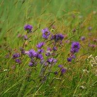 Карельские травы :: Илья Кошкин