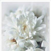 Белые... пушистые... :: Вероника Любимова