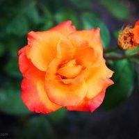 Rose :: Анна Ильевская