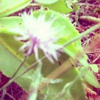 цветок :: Томка Богданюк