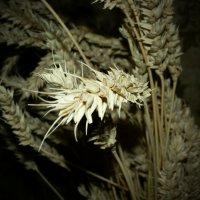 пшеница :: Катерина Коханова