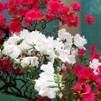Ботанический сад - азалии :: Алексей Кудрявцев