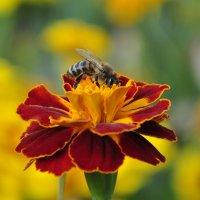 Пчелка © :: Maxxx©