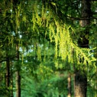 лиственничная аллея :: Инна Зелинская