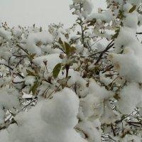 майский снег..... :: игорь гришин