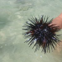 Морской ежик :: ирина гунгор