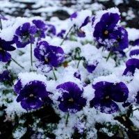 Зимняя виола :: Зинаида Цикалова
