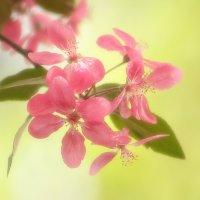 Яблони цвет :: Олег Самотохин