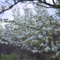в грушевом саду :: Славка Зозуля