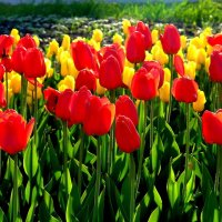 Тюльпаны. :: Анатолий