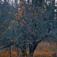 Старая яблоня :: Elena Kuznetsova