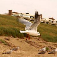 чайка в полете :: Ксения Эккерт