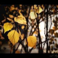 Последний желтой осени привет... :: Елена Kазак