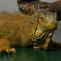 редкий вид ящера :: Анастасия Бетехтина