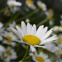 Ромашковое лето :: galina tihonova