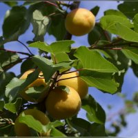 Чудесное абрикосовое лето :: galina tihonova