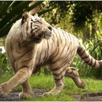 Белый тигр :: Борис Гольдберг