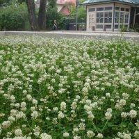 Юрмала, клевер цветёт :: Mariya laimite