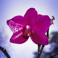 Орхидея. :: Алексей. Бордовский