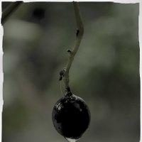 Виноград :: Виктория Гавриленко