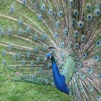 Прекрасная птица! :: Irinka Gradoboeva
