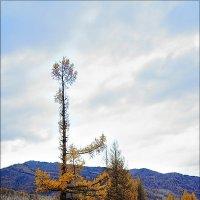 Одинокая лиственница :: Виктор Четошников